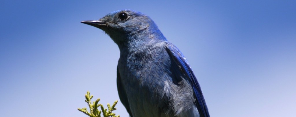 bluebirdwideNblue2