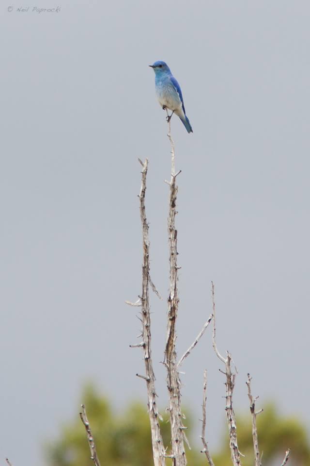 bluebirdtopotwig