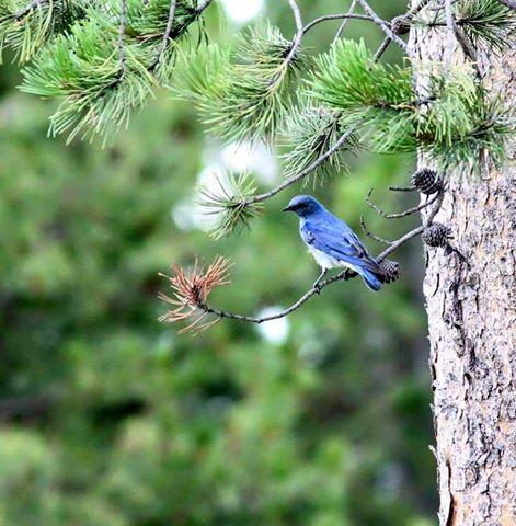 bluebirdinidaho