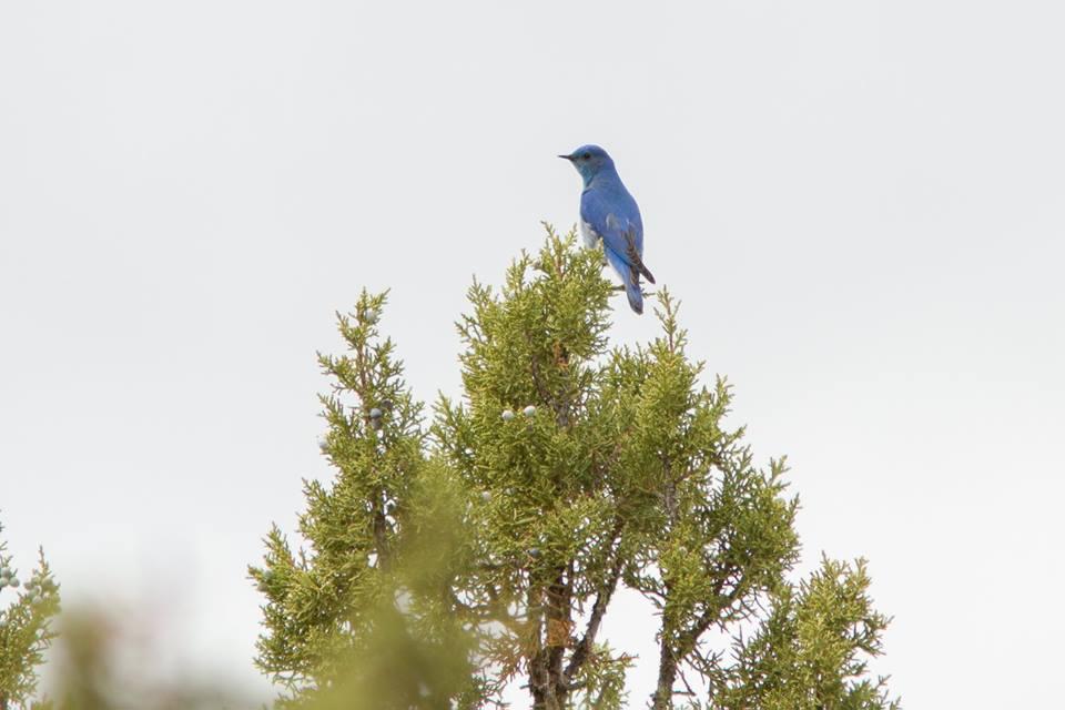 bluebirdtopotree