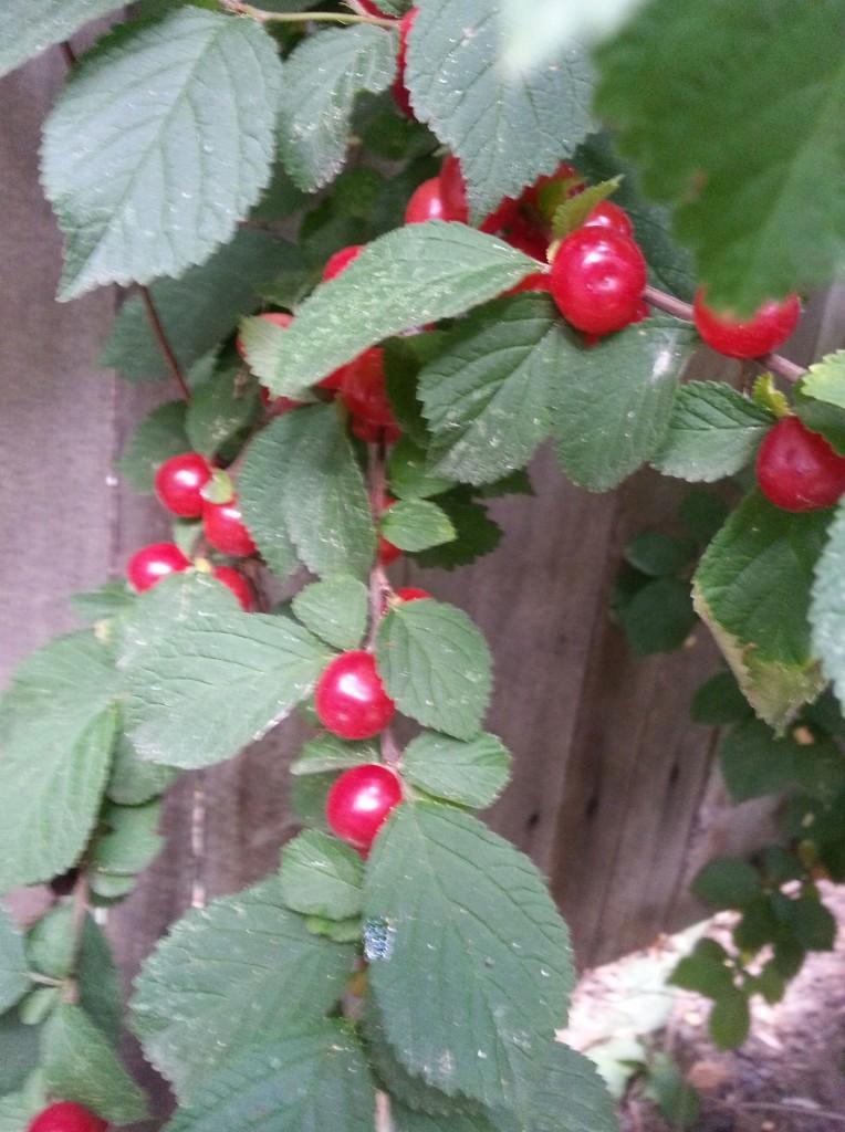 summerberriesHICROP